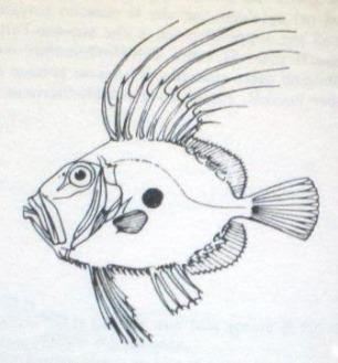 John Dory drawing
